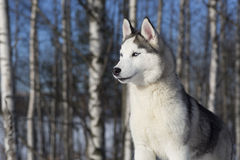 Blue-eyed Siberian Husky. Puppy Royalty Free Stock Images