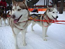 Sled dogs Siberian Huskies in harness Royalty Free Stock Photo