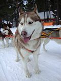 Sled dogs Siberian Huskies in harness Royalty Free Stock Photography