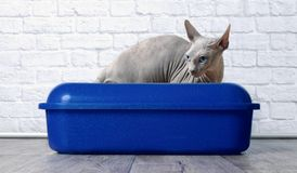 Sphynx cat sitting in a blue litter box. Blue eyed Sphynx cat sit in a blue liter box and look sideways Royalty Free Stock Photo