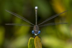 Blue-eyed Spotted Spreadwing. A Spotted Spreadwing damselfly with beautiful blue eyes perches at the tip of a leaf looking straight at the camera royalty free stock image