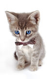 Blue eyed tabby kitten with large ears. A blue eyed kitten with large ears and a bowtie Stock Images