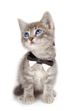 Blue eyed tabby kitten with large ears. A blue eyed kitten with large ears and a bowtie Royalty Free Stock Image