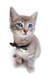 Blue eyed tabby kitten with large ears. A blue eyed kitten with large ears and a bowtie Stock Photos