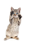 Blue Eyed Tabby Kitten with Paws Up Royalty Free Stock Photo