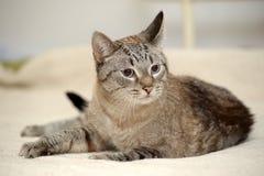 Blue eyed thai tabby cat royalty free stock photos