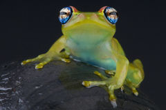 Blue-eyed tree frog / Boophis rappiodes Royalty Free Stock Image