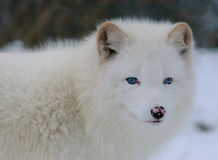 Blue eyed white arctic fox Royalty Free Stock Images