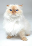 Blue Eyed White Cat. Big blue eyed persian looks irritated or mad. Lexus the Cat Stock Photography