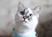 Blue-eyed white cat in a blue sweater close-up. The nose is in focus Stock Photo