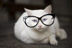 Blue eyed white cat. Blue eyed white cat with eyeglasses lying on floor Stock Image