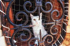 Blue eyed white cat stares at camera with safety net on its side. Blue eyed white cat stares at camera with safety Royalty Free Stock Photography