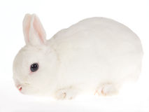 Blue-eyed White Netherland dwarf rabbit, on white Stock Photo