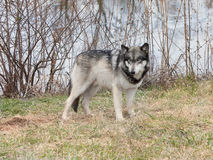 Blue-eyed Wolf Stock Photography