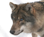 Blue-eyed Wolf. Wolf with blue eyes, outdoor royalty free stock images