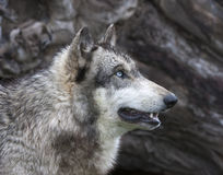 Blue-eyed Wolf Head shot. Blue-eyed wolf in profile head shot stock photos