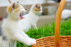 Blue eyed yawning kitten in natural environment Royalty Free Stock Images