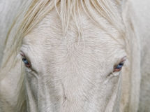 Blue Eyes. A white blue eyed horse Stock Photography