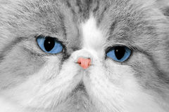 Blue eyes. Close up of cat's face Royalty Free Stock Images