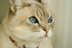 Cat with blue eyes Stock Images