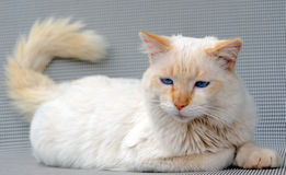 Blue eyes cat Royalty Free Stock Photo