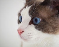 Blue eyes cat. Beautiful cat with intense blue eyes Royalty Free Stock Photography