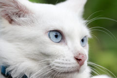 Blue eyes cat. Close up white cat with blue eyes Royalty Free Stock Photos