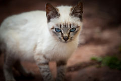 Blue eyes cat Royalty Free Stock Photography