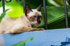 Blue eyes cat lay down above wall Royalty Free Stock Photography