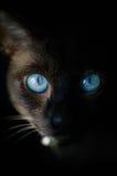 Blue-eyed Siamese cats. 一只有漂亮的蓝色眼睛的猫 stock image