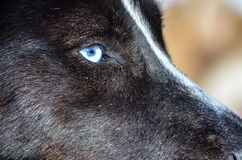 Blue eyes, closeup, black siberian husky Royalty Free Stock Photos