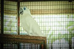 Blue Eyes Cockatoo stock photos