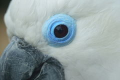 Blue-eyes cockatoo. The detail of blue-eyed cockatoo royalty free stock photography