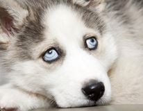 blue eyes of cute siberian husky puppy Royalty Free Stock Image