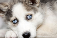 Blue eyes of cute siberian husky puppy Royalty Free Stock Photography