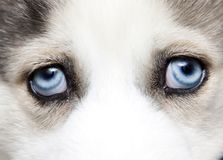 Blue eyes of cute siberian husky puppy stock images