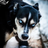 Blue eyes dog Royalty Free Stock Images