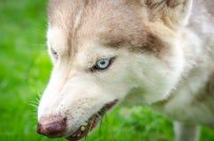 Blue eyes dog Stock Photography