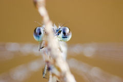 Blue eyes of a dragonfly Stock Photo