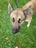 Huskey Shepherd. Blue eyes huskey shepherd Royalty Free Stock Photos