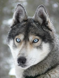 Blue eyes husky dog Stock Image
