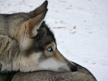 Blue eyes husky dog Stock Photos
