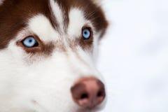 Blue eyes of Husky dog Stock Photo