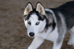 Blue eyes of husky. Siberian husky puppy cautiously approaching with a stare Royalty Free Stock Image