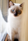 Blue eyes kitten Royalty Free Stock Photography
