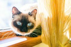 Blue eyes kitten Royalty Free Stock Image
