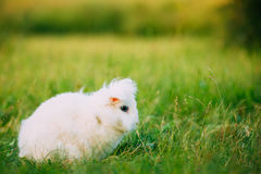 Blue Eyes Lop-Eared Dwarf Snow-White Mixed Breed Rabbit Bunny Sitting Royalty Free Stock Photo