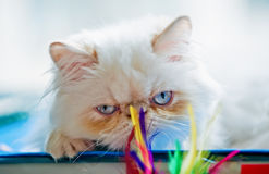 Blue eyes of Persian cat Stock Photography