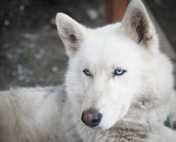 Blue eyes. A portrait of a husky with blue eyes Stock Images