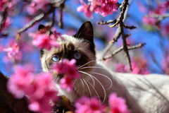 Blue eyes Siamese cat among the cherry blossoms. Beautiful cat looking curiously between the beautiful flowers of Okinawa Cherry Stock Photos